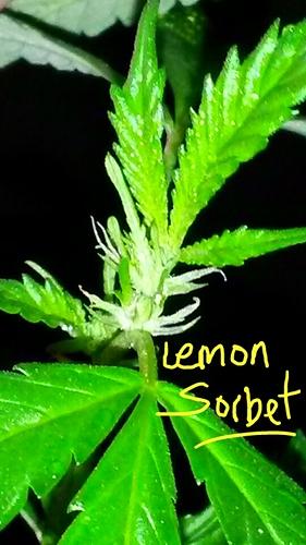 lemon sorbet, Week 1 flowering 2020-08-25 15.17.37