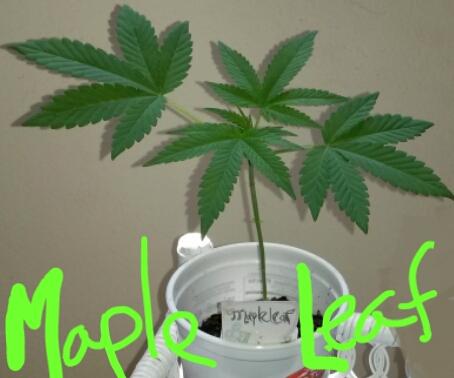 Maple Leaf 2020-05-16